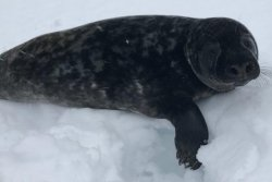 Seal rescued after crossing Canadian highway