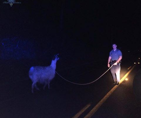 Massachusetts police lasso loose llama