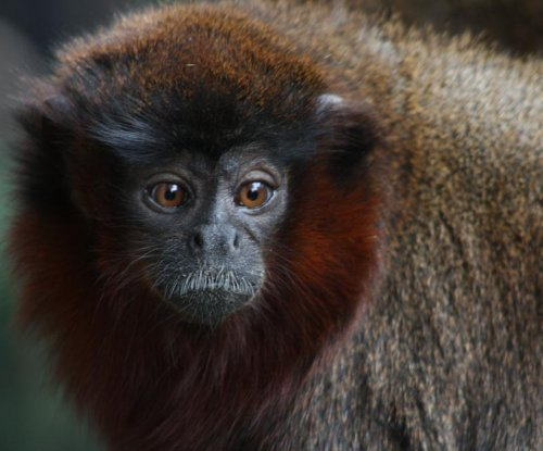 Primate study offers insights into relationship between of jealousy and monogamy