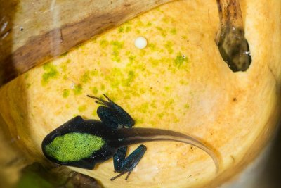 Mothering poison frog in Madagascar helps scientists study the maternal brain