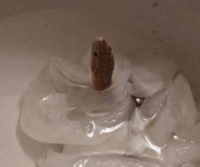 Colorado woman finds snake inside toilet bowl
