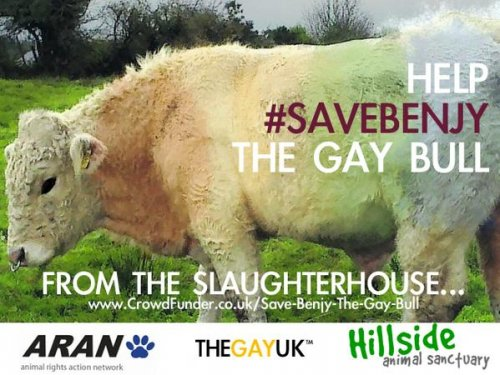 Gay bull in Ireland saved by Simpsons co-creator