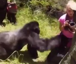 Woman shoved by gorilla during safari tour in Rwanda