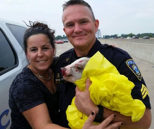Missouri police wrap street-crossing pig in blanket