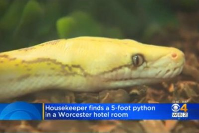 Workers find abandoned snake in Massachusetts hotel room drawer