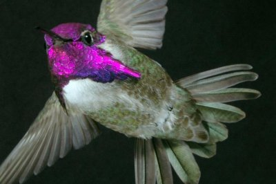 To woo females, diving Costa's hummingbirds 'sing' with their tail feathers