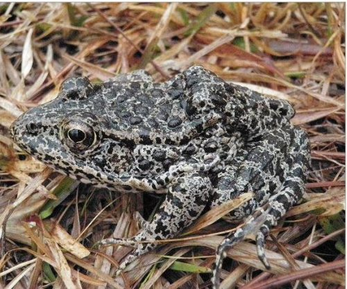 Supreme Court agrees to hear appeal over endangered frog's protection