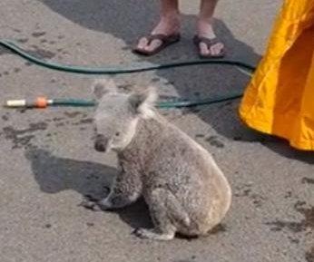 Koala flees wildfire into residential neighborhood