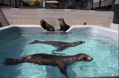 California coast overwhelmed by sick sea lion pup strandings