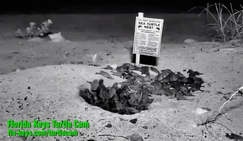 Web cams show loggerhead turtles hatching in Florida