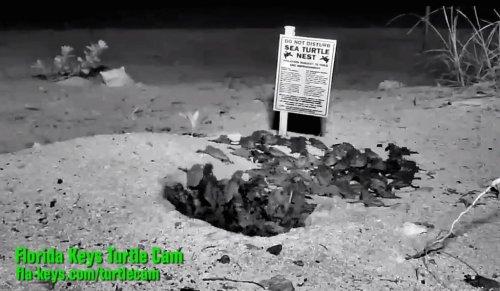 Web cams show loggerhead turtles hatching in Florida