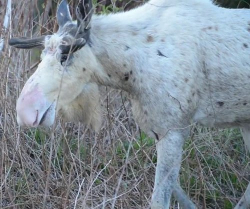 Moose with rare white coloration caught on camera in Canada