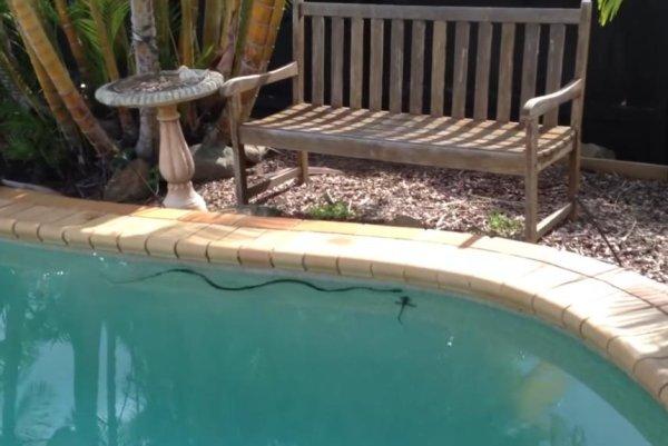 Watch: Lizard flees snake in family's backyard pool - UPI.com