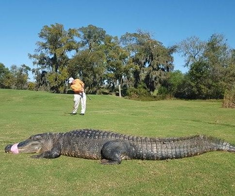 12-foot gator 'Chubbs' removed from Texas golf course