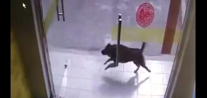Watch: Dog chasing a cat crashes into store\u0027s propped-open glass door - UPI.com & Watch: Dog chasing a cat crashes into store\u0027s propped-open glass ... Pezcame.Com