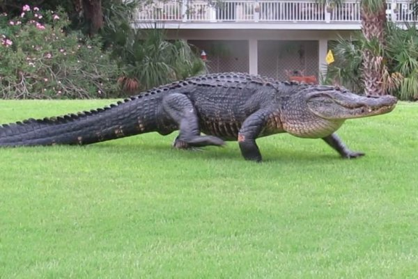 Massive Alligator S Golf Course Stroll Draws The Attention Of Nearby Deer Acq5