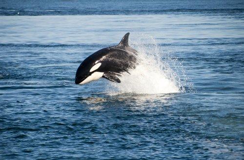 Orca stranded on rocks during Alaska's low tide, returns to sea
