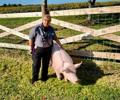Animal control officers wrangle loose pigs on Tennessee highway