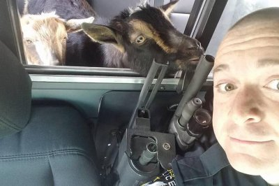 Wandering pygmy goats take 'day trip' in officer's patrol car