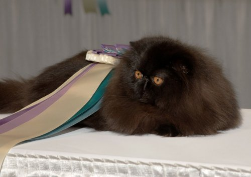 Cat wins 'Best in Show' 39 times