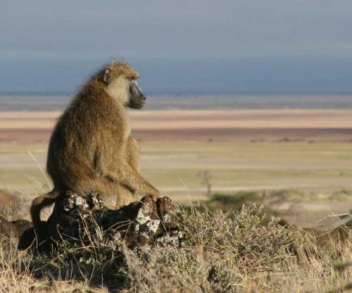 Study explores why male baboons become domestic abusers