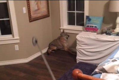 Watch:-Coyote-enters-sleeping-woman's-bedroom