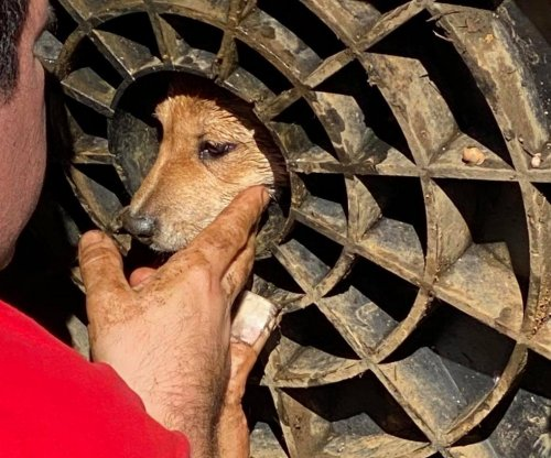 Curious puppy rescued from backyard drain cover