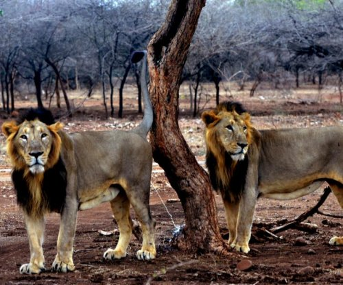 Male lion coalitions help protect territory, increase mating opportunities