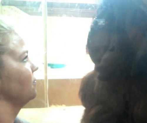 Amorous orantugan blows kisses to female zoo visitor