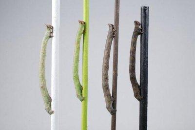 Peppered moth caterpillars sense color through their skin