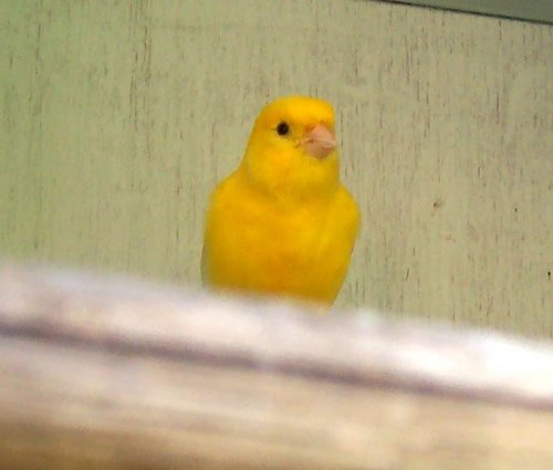 Testosterone makes male canaries sing more, but not better