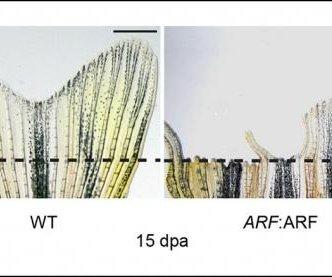 Study: Human gene thwarts regeneration in zebrafish