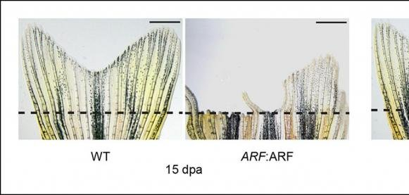 Zebrafish study reveals anti-regenerative power of Arf gene - UPI com