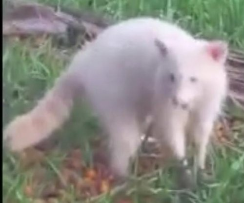 Albino raccoon spotted feeding on Florida woman's backyard fruit