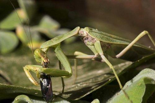 Praying mantis observed catching, eating fish