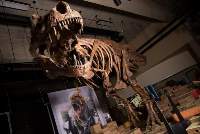 Paleontologists uncover largest-ever T. rex fossil