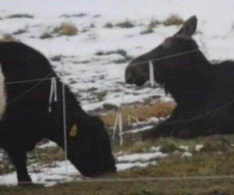 Wild moose befriends cows at Vermont farm