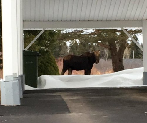 'Very docile' moose tranquilized after wandering Canada neighborhood