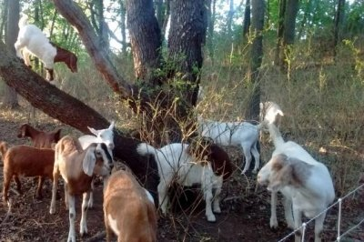 Union files grievance over university's use of goats to clear weeds