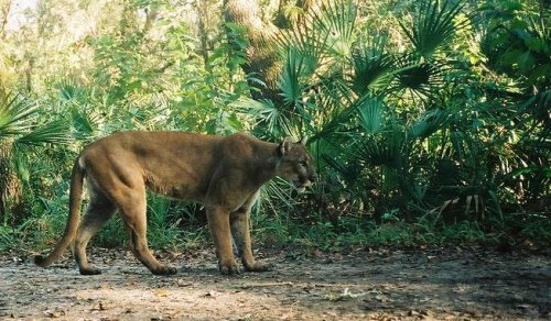 Florida panther population on the rise