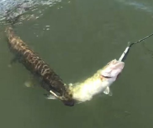 Pike tries to steal fisherman's catch, ends up as two-for-one bonus