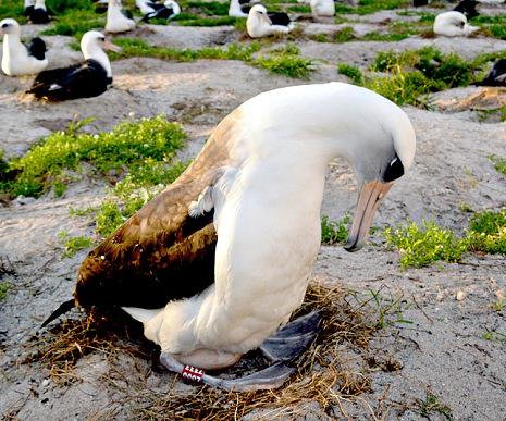 World's oldest tagged bird recently mated, expected to lay egg