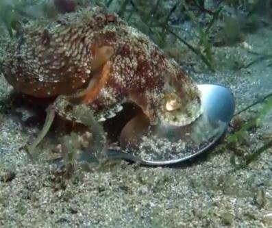 Small octopus builds home out of flip-flop, metal spoon