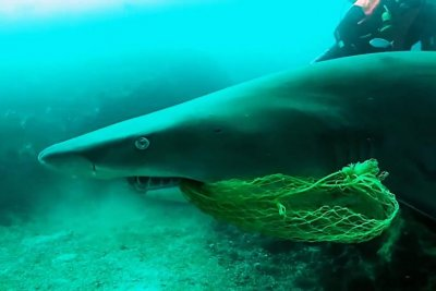 Scuba diver rescues shark with net caught in mouth