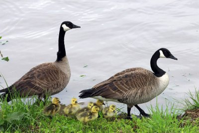 Animal rights group sues over culling of Canada geese for meat in Denver