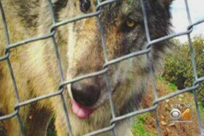 Escaped wolf eludes capture in Colorado - UPI com
