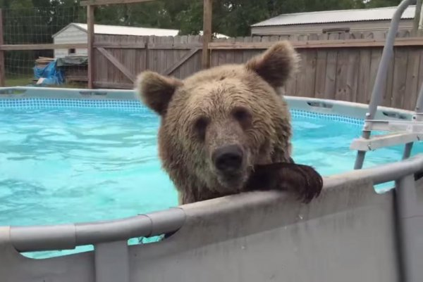Watch bruiser the bear swims during 39 pool play 39 - Above ground swimming pools tyler texas ...