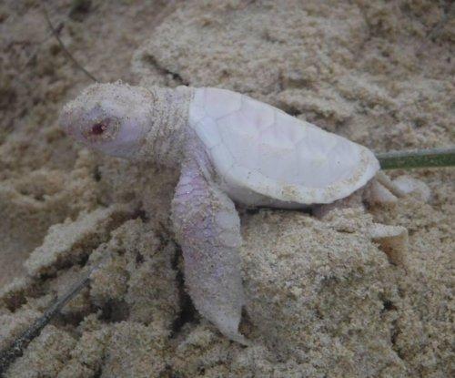 Rare albino turtle hatchling found in Australia