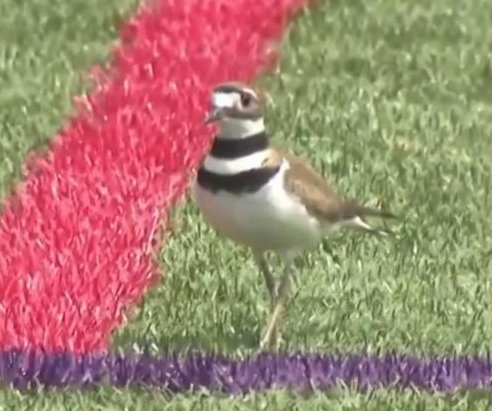 Small, protected bird shuts down New Jersey soccer field