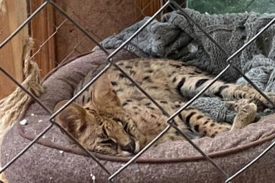 Missing New Hampshire serval found, back at home